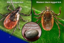 Deer Ticks